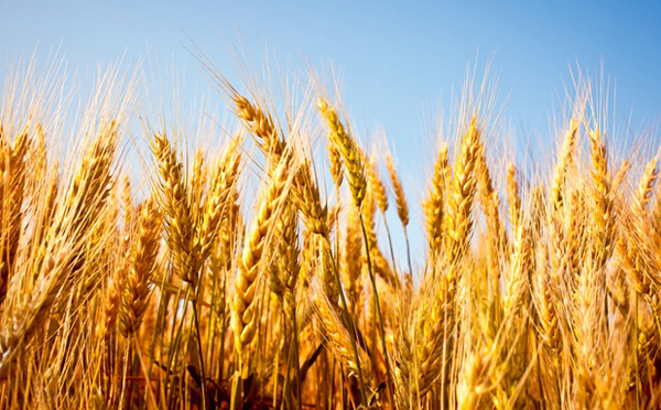 Should You Eat Wheat? The Great Gluten Debate